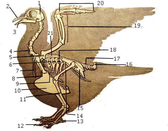 Особенности строения скелета